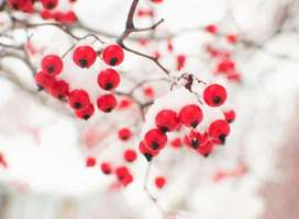 Red berries on tree partially covered by winter snow