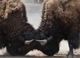 Two bison locking heads