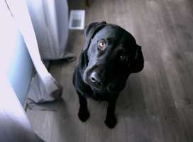Black labrador pet do, sitting looking up at camera, head to one side