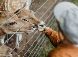 Child feeding tame Roe deer through mesh fence