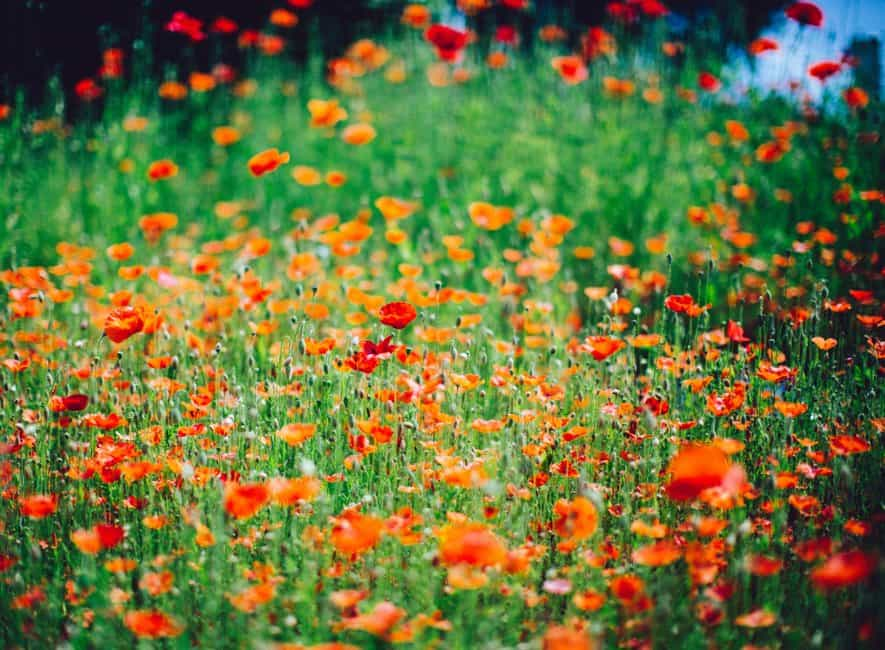 Field of red poppies allowed to grow naturally