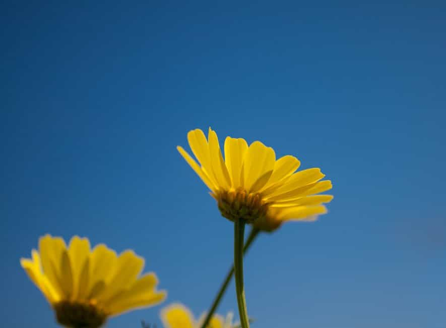 Beautiful yellow daisies in flower on blue sky background